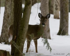 Hungry Fawn