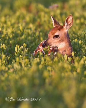 Fawn in Blueberries