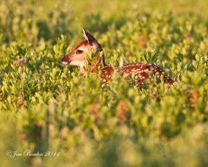 Golden Light Fawn
