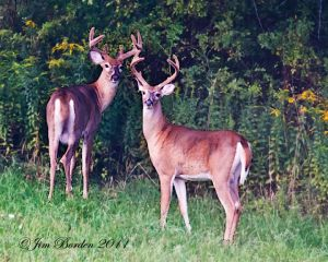 Alert Whitetail Bucks