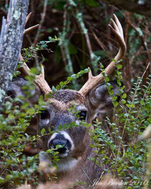 Peek A Boo Buck