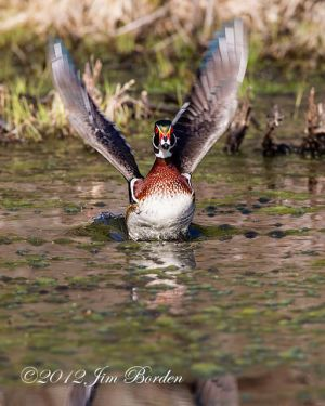 Wood Duck Takeoff