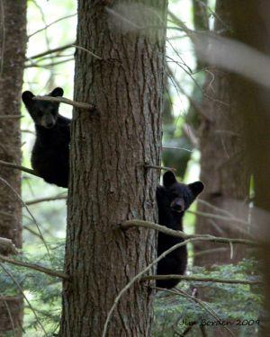 Peek a boo Cub Bears