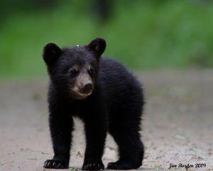 Curious Cub Bear