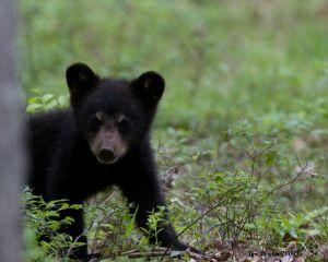 Playful Cub Bear