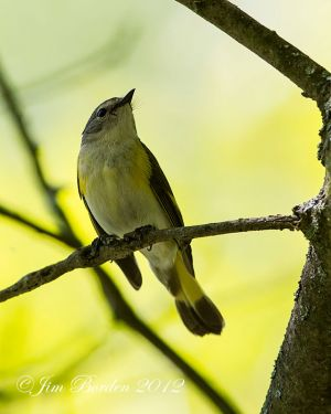 American Redstart-female