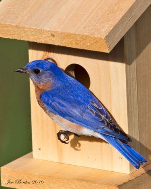 East Bluebird