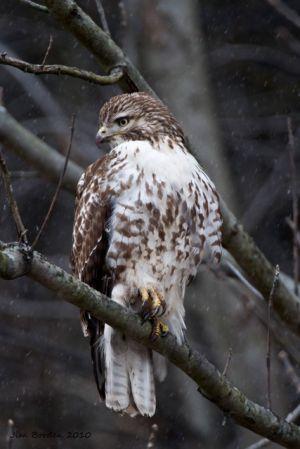 Redtail Hawk Juvenile