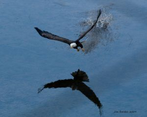 Reflected Bald Eagle in Flight