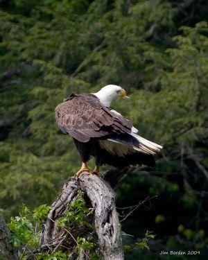 Bald Eagle Preening 1