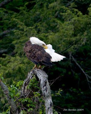 Bald Eagle Preening 2