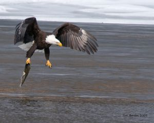 Bald Eagle lift-off with fish