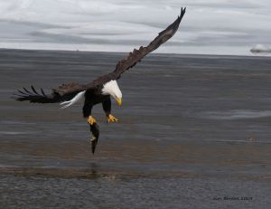 Bald Eagle liftoff with fish 2
