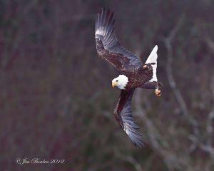 Bald Eagle preparing to catch fish