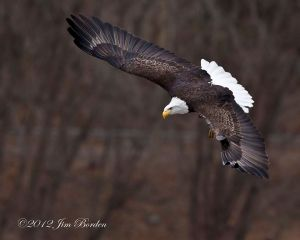 Bald Eagle coming in for fish