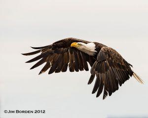 Lubec Harbor Bald Eagle