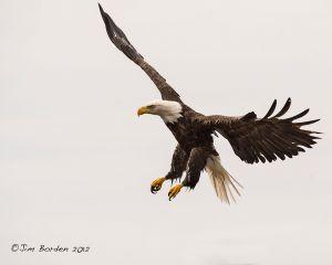 Lubec harbor Eagle landing