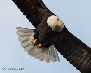 Bald Eagle closeup