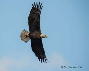 Bald Eagle V85