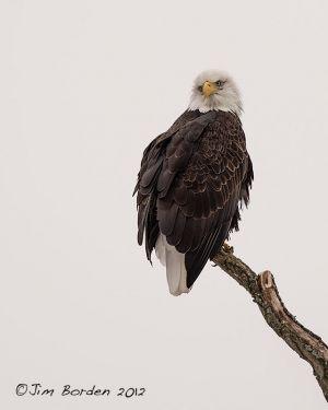 Lady Bald Eagle