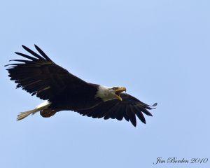 Scolding Bald Eagle in Flight