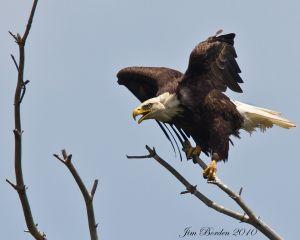 Scolding Bald Eagle