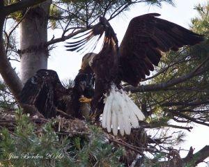 Eagle Bringing fish to Eaglets