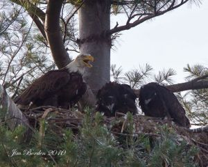 Eagle with Eaglets on nest