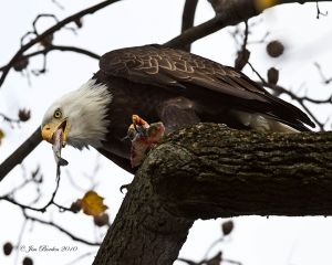 Bald Eagle with Lunch