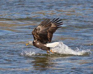 Bald Eagle Fishing Sequence 1