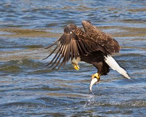 Bald Eagle Fishing Sequence 2