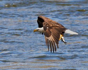 Bald Eagle Fishing Sequence 3