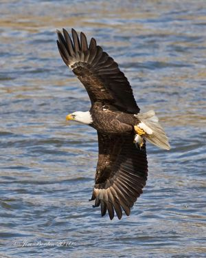 Bald Eagle Flying Portrait with fish