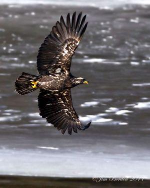 Immature Bald Eagle flying portrait
