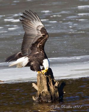 Bald Eagle landing with fish