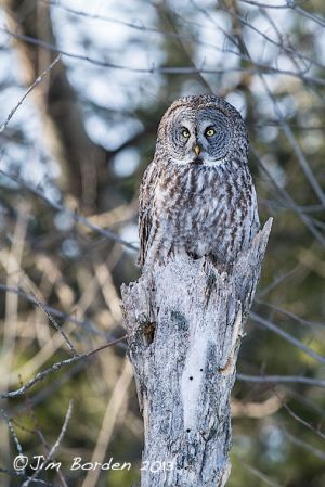 Great Gray Owl on Stump