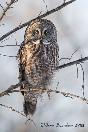 Great Gray Owl in Afternoon Sun