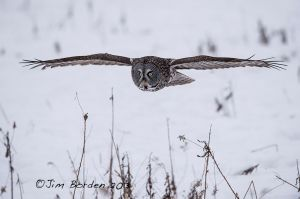 Great Gray Owl Searching for food