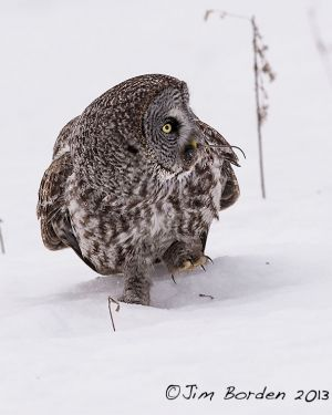 Great Gray Owl with Breakfast