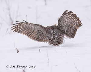 Great Gray Owl Touchdown