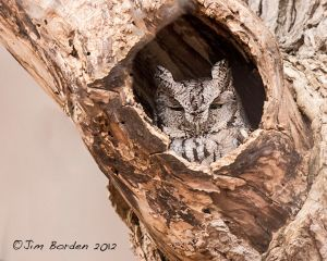 Eastern Screech Owl with a wink!