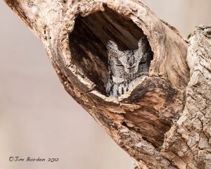 Eastern Screech Owl-Grey Phase