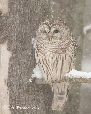 Barred Owl in snow storm