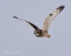 Short ear Owl in Flight