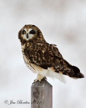 Perched Short Ear owl