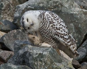 Snowy Owl with Itch