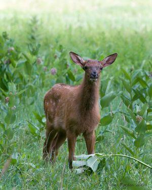 Alert Elk Calf