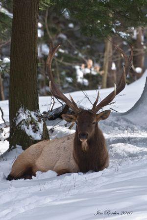 Winter Bull