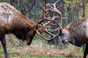 Battling Bulls
