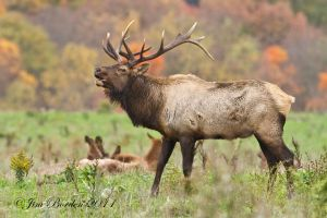 Bugling Bull Elk in Fall Foliage